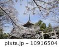 本法寺 満開 桜の写真 10916504