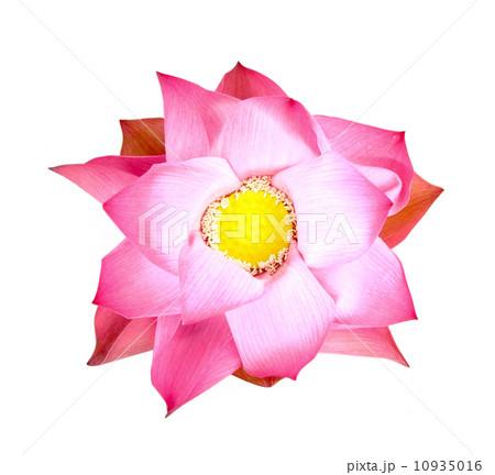 Bud lotus blooming  on whiteの写真素材 [10935016] - PIXTA