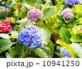 Hydrangea flowers 10941250