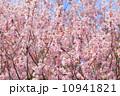 Sakura tree with blue sky 10941821