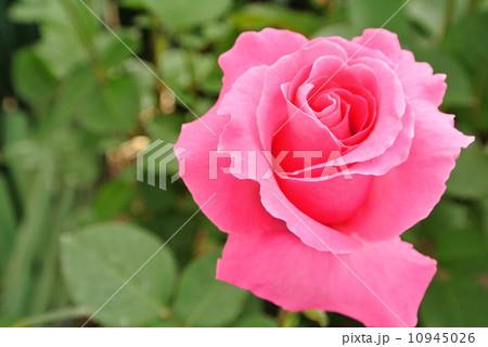 バラ ラズベリーアイス 10945026