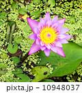 the lotus blooming on lotus pond 10948037