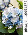 blue hydrangea 10951872