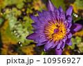 花 はなばち スイレンの写真 10956927