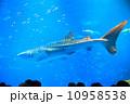 ジンベイザメを見る 10958538