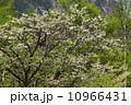 小梨 樹木 木の写真 10966431