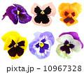 花 パンジー 三色すみれの写真 10967328