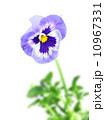 花 パンジー 黄色いの写真 10967331