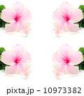 ハイビスカス 槿 アメリカフヨウの写真 10973382