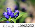 るりおとめ(栃木県育成 極早生系りんどう) 10983232