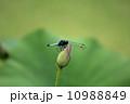 蓮のつぼみとオオシオカラトンボ 10988849