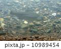 魚類 桜鱒 山女魚の写真 10989454