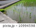 田んぼ 水田 苗の写真 10994598