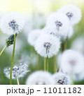 White dandelions 11011182
