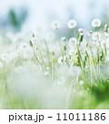 White dandelions 11011186
