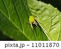 紫陽花の葉に蜘蛛 11011870