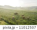 放牧 朝霧 牛の写真 11012507