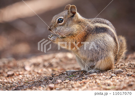 chipmunk in the Rocky Mountain National Park 11017070