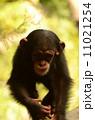 陸上動物 チンパンジー 動物の写真 11021254