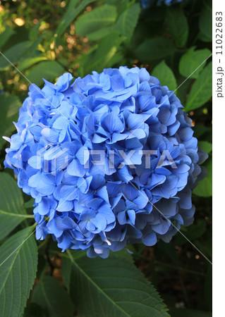 青いあじさい 11022683