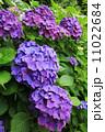 紫あじさい 11022684
