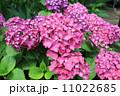 ピンクのあじさい 11022685
