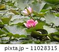 昭和の森下夕田池のスイレンの白い花と赤い花 11028315