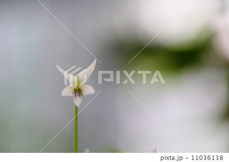 絶滅危惧植物 オリヅルスミレ(野生絶滅種(EW)) 11036138