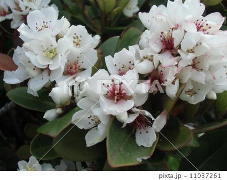 秋には黒い実に生るシャリンバイの白い花 11037261