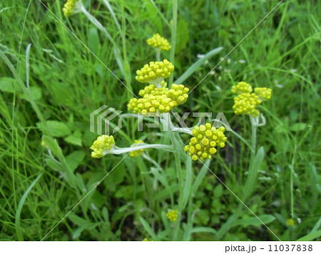 春の七草ゴギョウの花は初夏に咲きます 11037838