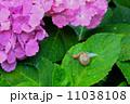 あじさい寺 久留米・千光寺の紫陽花 11038108