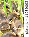 鳥 ひな カルガモの写真 11039892