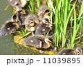 鳥 ひな カルガモの写真 11039895
