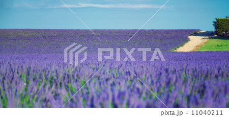 Lavender field 11040211