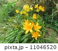 黄色いエゾカンゾウ(黄金岬・積丹半島/北海道) 11046520