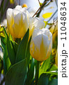 Beautiful white tulips closeup. 11048634