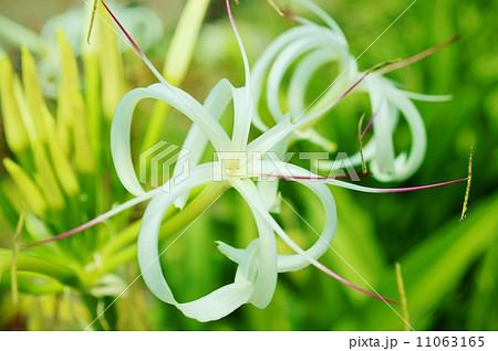 浜木綿(ハマユウ)花言葉:あなたを信じます Crinum asiaticum 11063165