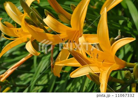 並んで咲いた山吹色のユリ 11067332