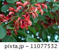 アメリカデイゴの花 11077532