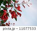 アメリカデイゴの花 11077533
