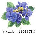 水彩 ガクアジサイ 花のイラスト 11086738