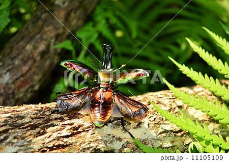 ニジイロクワガタが飛ぶ時 森の樹木の上で 11105109