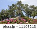 松林 赤松 花の写真 11106213