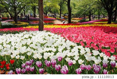 昭和記念公園のチューリップ 11110013