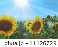 ひまわり畑 11126729