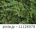 成長 さぼてん サボテンの写真 11126978