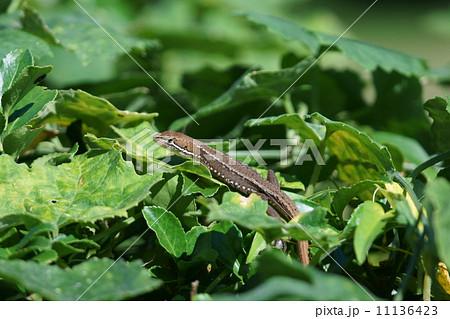 日本愛蛇 カナヘビは金蛇と書くことが多いようですが・・・ 11136423