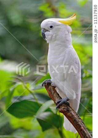 Sulphur-crested Cockatooの写真素材 [11137930] - PIXTA