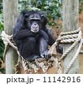 ほ乳類 哺乳類 さるの写真 11142916