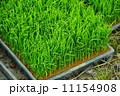 早苗 苗 稲の写真 11154908